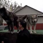 狼犬ウルフドッグとは?話題のウルフドッグについて調べてみた